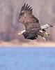 Eagle descending on a fish. Potomac River, Dec 08.<br /> <br /> © Martin Radigan. All images copyright protected.