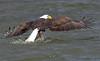Bald Eagle, Potomac River. Feb, 08.<br /> <br /> © Martin Radigan. All images copyright protected.