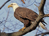 Bald Eagle portrait. Feb, 09.<br /> <br /> © Martin Radigan. All images copyright protected.