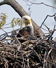 Baby Eagles and parent.<br /> <br /> © Martin Radigan. All images copyright protected.