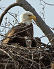 Bald Eagle and baby Eagle in nest above the Potomac River.<br /> <br /> © Martin Radigan. All images copyright protected.