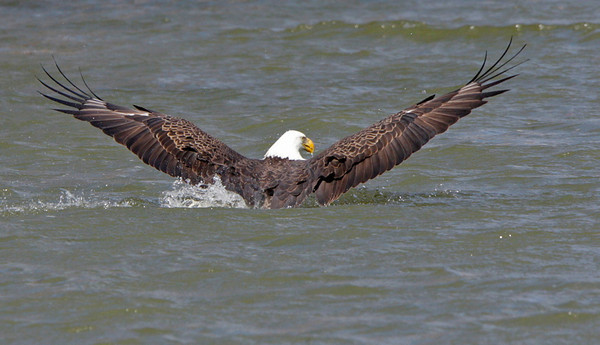 Bald Eagle grabbing a Coot on the Potomac River.<br /> <br /> © Martin Radigan. All images copyright protected.