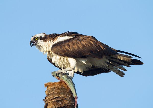Osprey. Everglades National Park. <br /> <br /> © Martin Radigan. All images copyright protected.