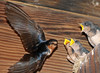 Young barn swallows getting fed by parent (and apparently giving me the stink eye). August, 2010.<br /> <br /> © Martin Radigan. All images copyright protected.