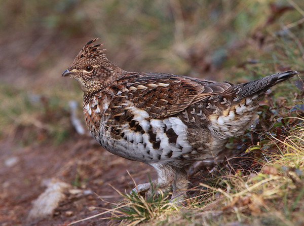Spruce Grouse.<br /> <br /> <br /> © Martin Radigan. All images copyright protected.