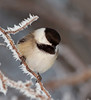 Chickadee and hoar frost. Feb, 2011.<br /> <br /> © Martin Radigan. All images copyright protected.