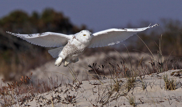 The rarely seen south of Canada, Snowy Owl. Assateague Island National Seashore. Dec, 08.<br /> <br /> © Martin Radigan. All images copyright protected.