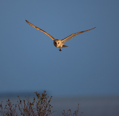 Barn Owl Hunts. Florida Bay in the background. ENP.<br /> <br /> © Martin Radigan. All images copyright protected.