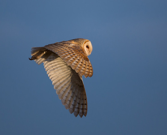 Barn Owl. Everglades National Park. <br /> <br /> © Martin Radigan. All images copyright protected.