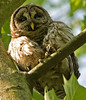 Barred Owl, May 08.<br /> <br /> © Martin Radigan. All images copyright protected.