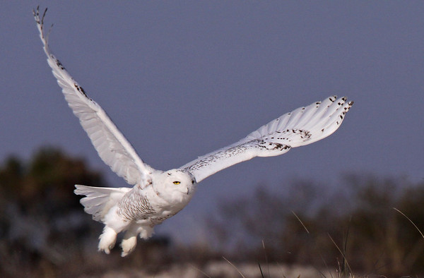 The rare and amazing Snowy Owl. Assateague Island National Seashore. Dec, 08.<br /> <br /> © Martin Radigan. All images copyright protected.