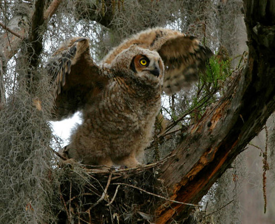 Young Great Horned Owl