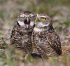 Florida Burrowing Owls.<br /> <br /> © Martin Radigan. All images copyright protected.