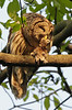 Barred Owl with dinner. May, 08.<br /> <br /> © Martin Radigan. All images copyright protected.