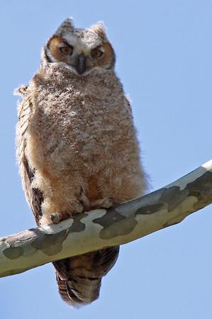 Juvi Great Horned Owl. Occoquan Natl Wildlife Refuge. April, 2010.<br /> <br /> © Martin Radigan. All images copyright protected.