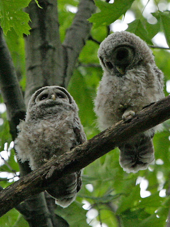 The baby Barred Owls. May, 08.<br /> <br /> © Martin Radigan. All images copyright protected.