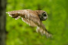 Flight of the Owl.<br /> <br /> © Martin Radigan. All images copyright protected.