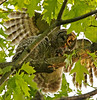 Feeding time. Adult and baby Barred Owls, Fairfax, VA. May, 08.<br /> <br /> © Martin Radigan. All images copyright protected.