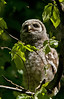 Baby Barred Owl watches a bee curiously. May, 08.<br /> <br /> © Martin Radigan. All images copyright protected.