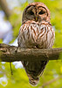 Barred Owl portrait. May, 08.<br /> <br /> © Martin Radigan. All images copyright protected.