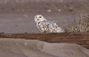 Snowy Owl, Assateague Island National Seashore. Dec, 08.<br /> <br /> © Martin Radigan. All images copyright protected.