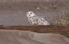 Snowy Owl, Assateague Island National Seashore. Dec, 08.<br /> <br /> © Martin Radigan. All images copyright protected.