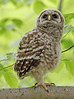 Baby Barred Owl. Fairfax, VA. May, 07.<br /> <br /> © Martin Radigan. All images copyright protected.