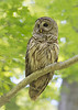 Portrait of an Owl. Great Falls National Park, Virginia. June 2012.<br /> <br /> © Martin Radigan. All images copyright protected.