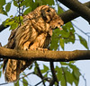 Barred Owl w/ critter, in late day sun. May, 08.<br /> <br /> © Martin Radigan. All images copyright protected.