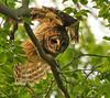 Barred Owl, Fairfax, VA. May, 08.<br /> <br /> © Martin Radigan. All images copyright protected.