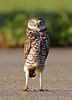 At Attention. Burrowing Owl.<br /> <br /> © Martin Radigan. All images copyright protected.