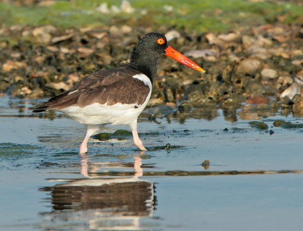American Oystercatcher.<br /> <br /> © Martin Radigan. All images copyright protected.
