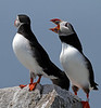 Puffins, Machias Seal Island, 10 miles off the coast of Cutler, Maine. July 2011.<br /> <br /> © Martin Radigan. All images copyright protected.