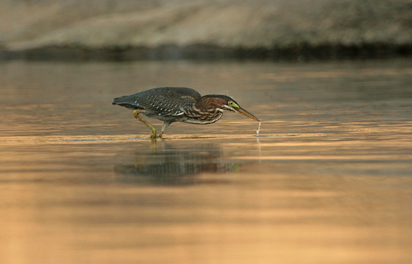 Green Heron fishing at sunset on the Potomac River.<br /> <br /> © Martin Radigan. All images copyright protected.