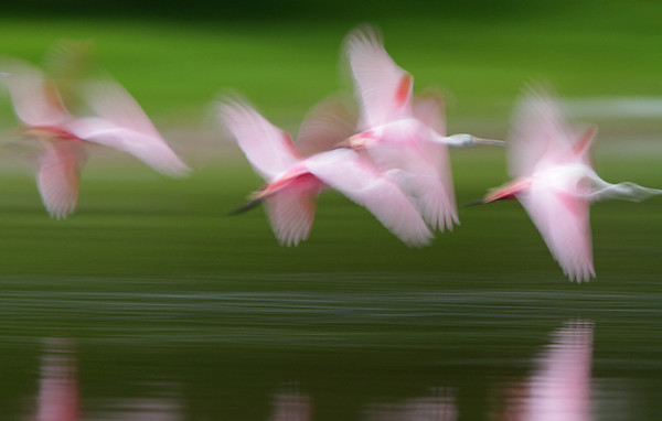 Spoonbills Take Flight. Everglades National Park, Feb 2012.<br /> <br /> © Martin Radigan. All images copyright protected.