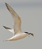Sandwich Tern. Assateague, Sept 08.<br /> <br /> © Martin Radigan. All images copyright protected.
