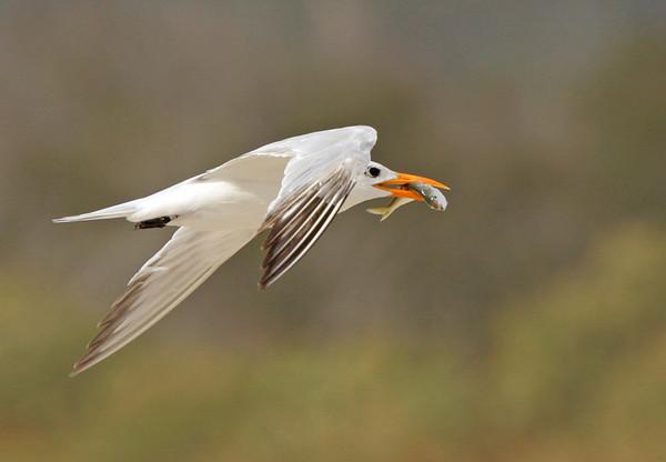 Tern, Assateague. Sept, 08.<br /> <br /> © Martin Radigan. All images copyright protected.