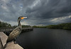 Cormorant and Big Everglades Sky