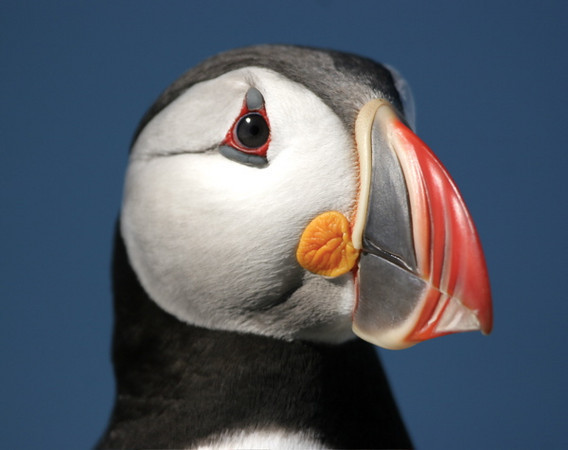 Atlantic Puffin, taken at Machias Seal Island near Jonesport.<br /> <br /> © Martin Radigan. All images copyright protected.