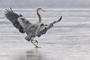 Ice dancing. Great Blue Heron, Potomac River. Jan, 09.<br /> <br /> © Martin Radigan. All images copyright protected.
