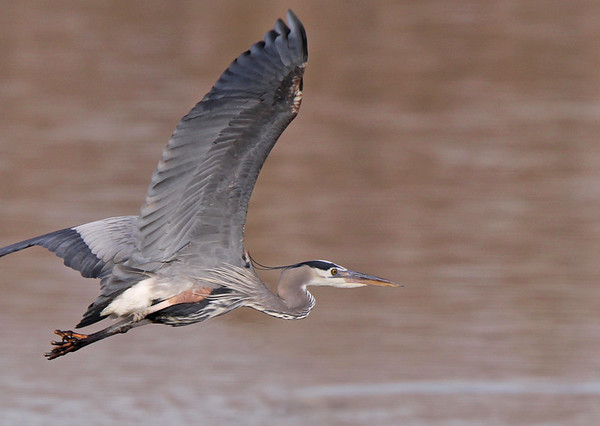 Great Blue Heron, Potomac River. March, 09.<br /> <br /> © Martin Radigan. All images copyright protected.