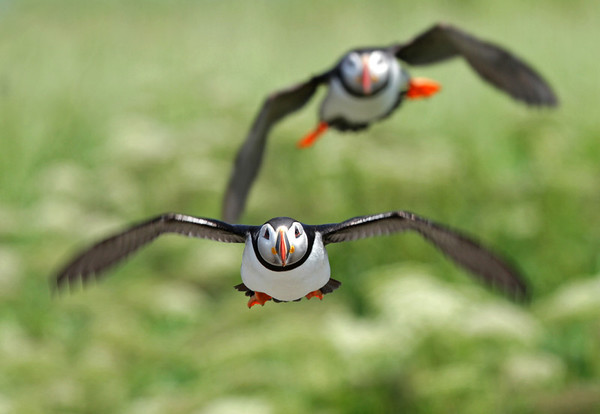 Puffins in flight. Machias Seal Island.<br /> <br /> © Martin Radigan. All images copyright protected.