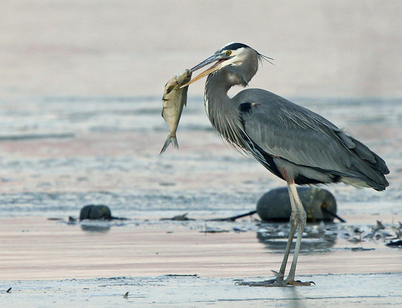 Great Blue Heron about to enjoy a large fish. Feb, 09.<br /> <br /> © Martin Radigan. All images copyright protected.