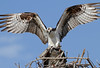 Hanky panky at the Osprey Nest. Everglades National Park.<br /> <br /> © Martin Radigan. All images copyright protected.