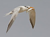 Tern, Assateague. Sept, 08.<br /> <br /> © Martin Radigan. All images copyright protected.