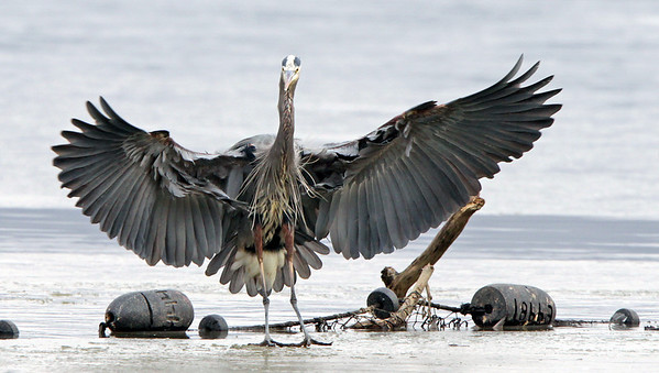 The prehistoric looking Great Blue Heron. Feb, 09.<br /> <br /> © Martin Radigan. All images copyright protected.