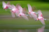 Spoonbills Take Flight