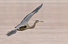 Banking right. Great Blue Heron, Potomac River. Feb, 09.<br /> <br /> © Martin Radigan. All images copyright protected.