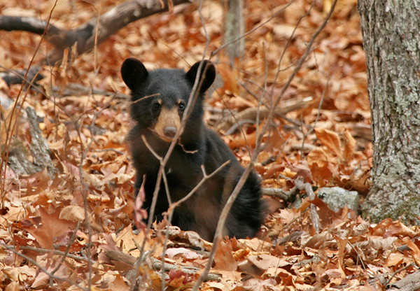 Bear cub, VA Highlands/SNP. Nov, 07.<br /> <br /> © Martin Radigan. All images copyright protected.