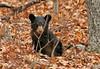 Bear cub, VA Highlands/SNP. Nov, 07.<br /> <br /> © Martin Radigan. All images copyright protected.